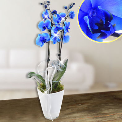 blaue orchideen kaufen blaue phalaenopsis im online shop. Black Bedroom Furniture Sets. Home Design Ideas
