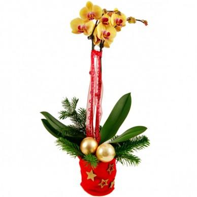 orchideen zu weihnachten senden online bestellen kaufen schenken. Black Bedroom Furniture Sets. Home Design Ideas