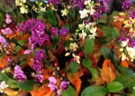 Mini Orchideen