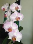 Phalaenopsis Orchidee kaufen
