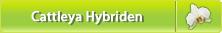 Cattleya Hybriden