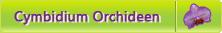 Cymbidium Orchideen