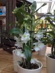 dendrobium hybriden dendrobium hybrid orchideen. Black Bedroom Furniture Sets. Home Design Ideas