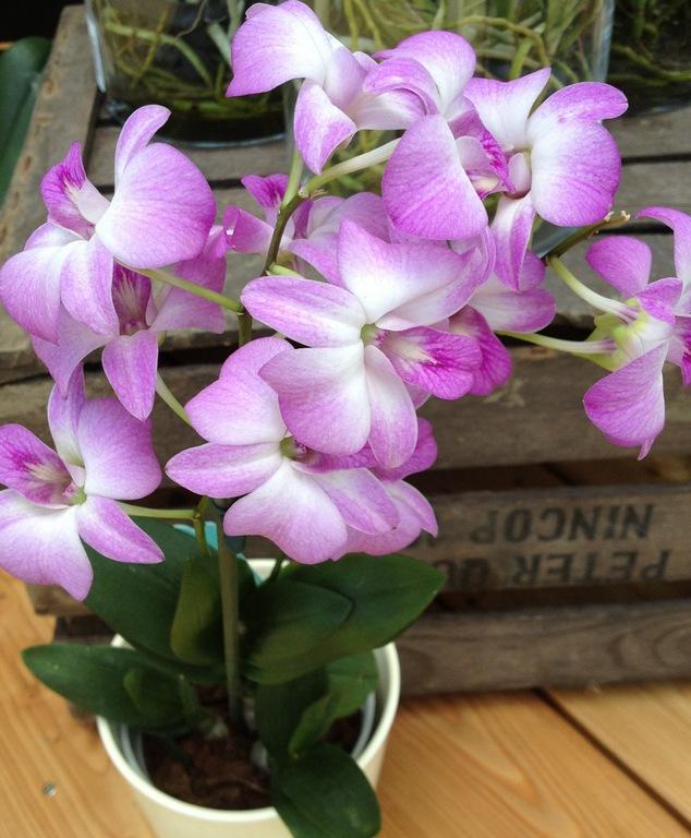 dendrobium orchideen die dendrobium orchidee. Black Bedroom Furniture Sets. Home Design Ideas