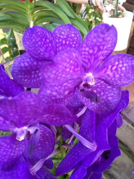 vanda hybriden vanda hybrid orchideen. Black Bedroom Furniture Sets. Home Design Ideas