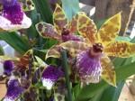 Zygopetalum Orchidee