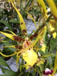 Brassia Orchidee