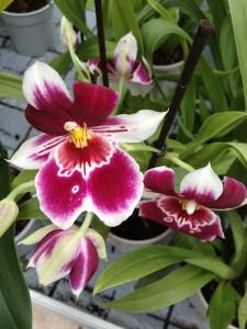 miltonia orchidee orchideen versenden. Black Bedroom Furniture Sets. Home Design Ideas