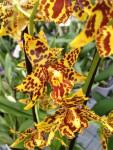 Odontoglossum Orchidee