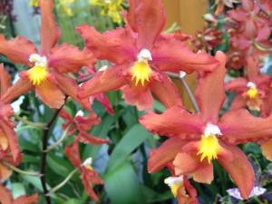 Orchideen orange