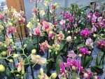 Phalaenopsis bunt