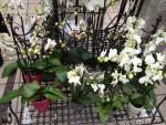 Phalaenopsis gemischt