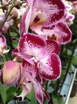 Phalaenopsis rot gefleckt