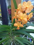 Vanda orange