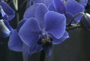 echte blaue Orchidee