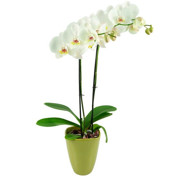 wei e orchideen kaufen wei e phalaenopsis im online shop. Black Bedroom Furniture Sets. Home Design Ideas