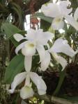 botanischer-garten-linz-orchidee-dendrobium