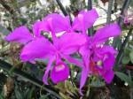 botanischer-garten-linz-orchidee-leuchtend-pink
