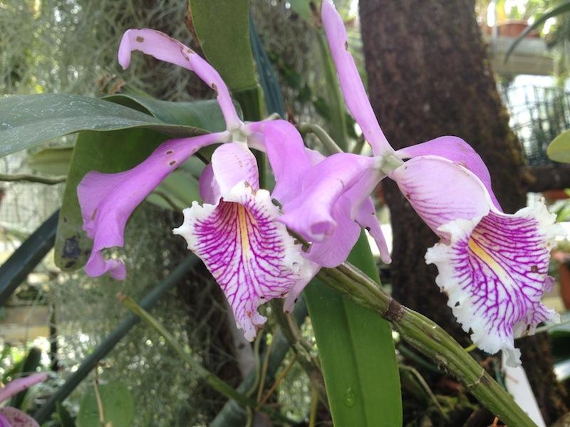 botanischer garten linz orchidee lila orchideen versenden. Black Bedroom Furniture Sets. Home Design Ideas