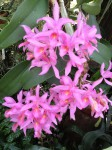 botanischer-garten-linz-orchidee-pink