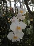 botanischer-garten-linz-orchidee-riesenphalaenopsis