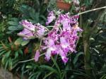 botanischer-garten-linz-orchidee-rosa
