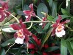botanischer-garten-linz-orchidee-rote-orchidee