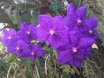botanischer-garten-linz-orchidee-vanda