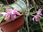 botanischer-garten-linz-orchidee-zygopetalum