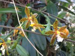 botanischer-garten-linz-orchidee-zygopetalum-gelb
