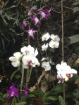 loro-parque-phalaenopsis-hybriden