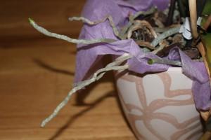 Orchidee Luftwurzeln Phalaenopsis