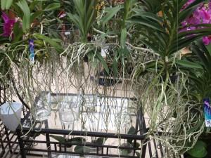 Luftwurzeln bei Vanda Orchideen