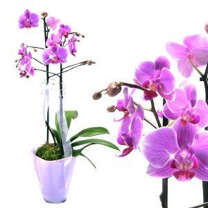 pinke Orchidee kaufen