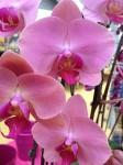 Phalaenopsis Orchideen Versand