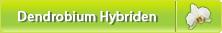 Dendrobium Hybriden