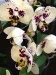 Phalaenopsis Hybrid Orchidee