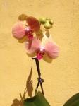 Phalaenopsis Kaleidoscope