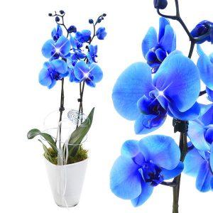 blaue Orchidee kaufen