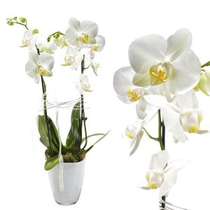 weiße Orchidee kaufen